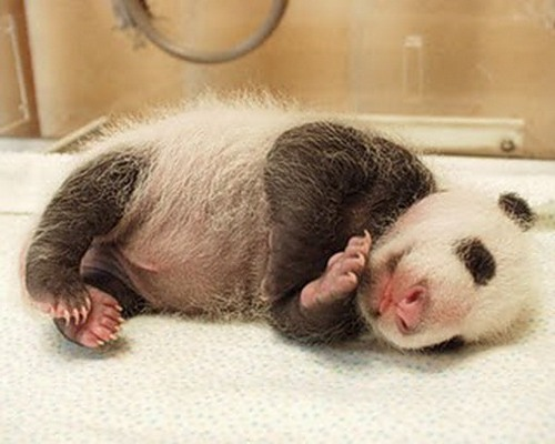 Touching image of just born panda