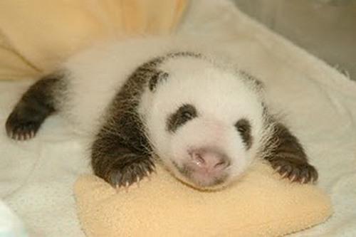 Sleeping baby panda