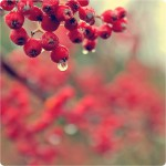 rowan red berry