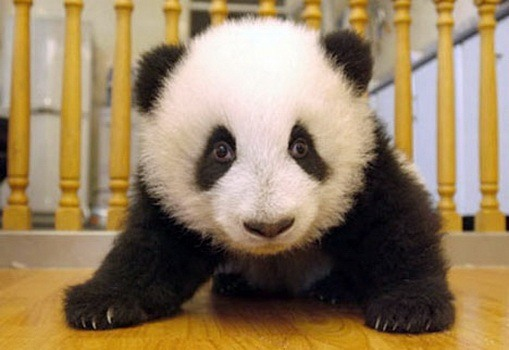 The first three months of a panda bear's life
