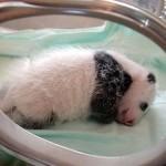 taking care of new born panda