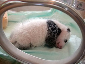 taking care of new born panda