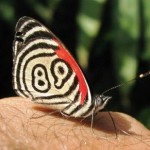 Beautiful Diaethria neglecta 89 butterfly