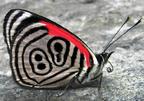 Exotic butterfly known as Diaethria neglecta, or 89 butterfly