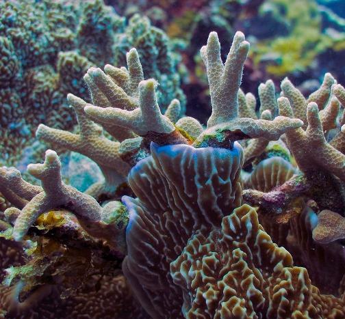 Acropora coral
