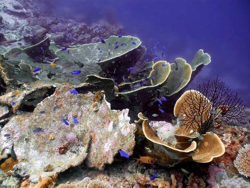 Purple Anthea (Psudanthias tuka)