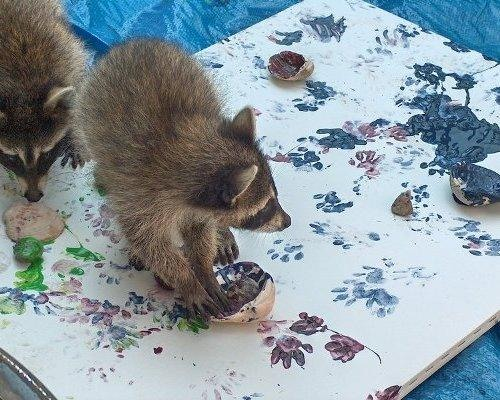 animal artists. Raccoons from the Hutchinson Zoo in Kansas