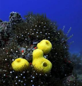 Sea Squirts (Phallusia julinea)