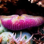 Solitary Coral (Fungia fungites, also known as Mushroom Coral