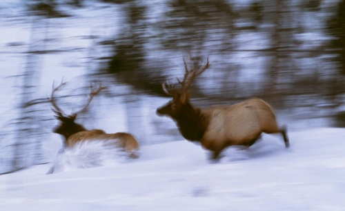 Elks. Wild Animals in Motion by American nature photographer Art Wolfe