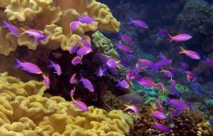 small purple fish