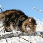 Powerfully built beautiful Siberian Cat