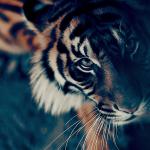 Tiger's look