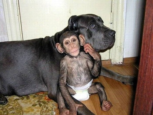 Somewhere in Russia. Baby Chimp rescued by mastiff