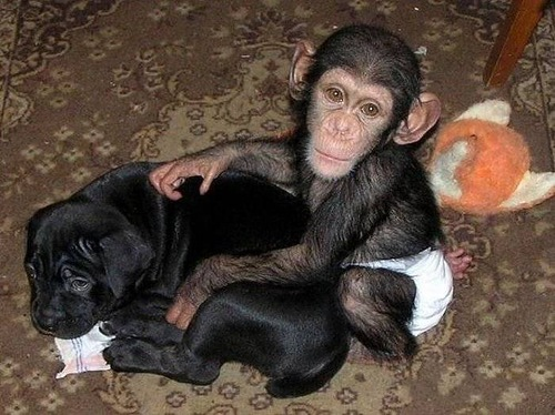 Cute puppy and Baby Chimp adopted by mastiff