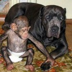 Seems like Baby Chimp loves his mother mastiff