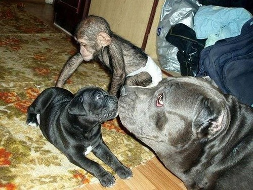 United family of mastiff and Baby Chimp