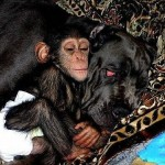 Amazing story of Baby Chimp adopted by mastiff