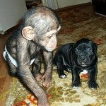 Touching picture of Baby Chimp mastiff puppy