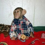 Wearing shirt, Baby Chimp