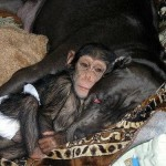 The story that ended happily. Baby Chimp adopted by the dog, mastiff