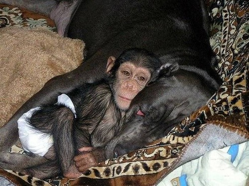 A mother and a baby sleep together. Baby Chimp adopted by mastiff