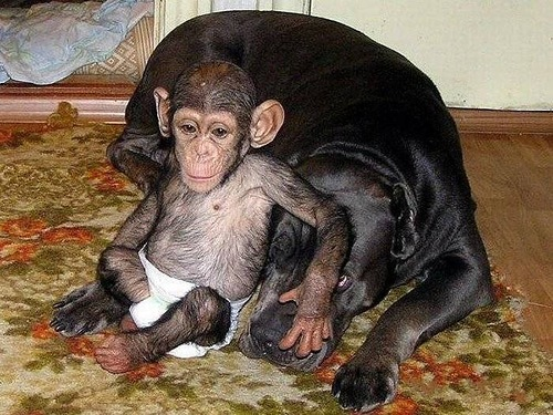 Mother mastiff with her Baby Chimp