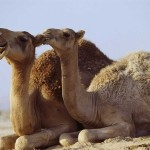 Touching couple of camels