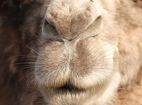 close their nostrils and lips tightly in order to keep sand out during desert storms