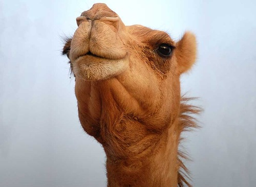 Wonderful Camel facts