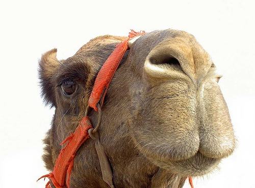 Looking snobbish, Camel