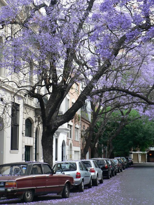 Most favorite tree of the Australians Beautiful Jacaranda