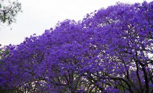 Bright colors of Jacaranda