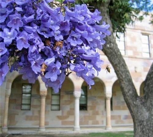 Fabulous Jacaranda flowers