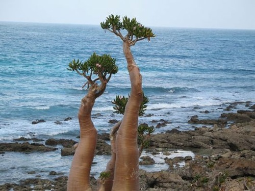 Wonderful bottle trees of Socotra island