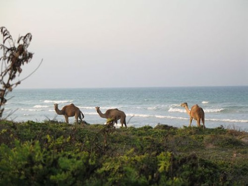 Camels on Socotra island