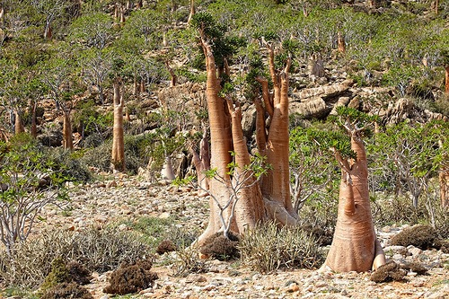 Strange-looking bottle trees