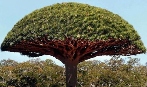 umbrella-shaped tree