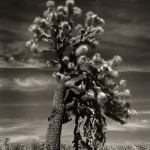 Cactus trees. 2011. Portraits of the time. Photography by Beth Moon