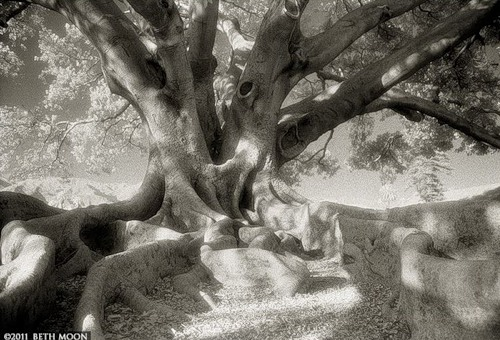 """Rare and exotic trees in the series """"Portraits of the time"""". Photography by Beth Moon"""