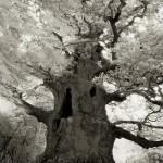 Impressive trees as Portraits of the time. Photography by Beth Moon