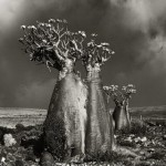 Bottle tree on Socotra island. Portraits of the time. Photography by Beth Moon
