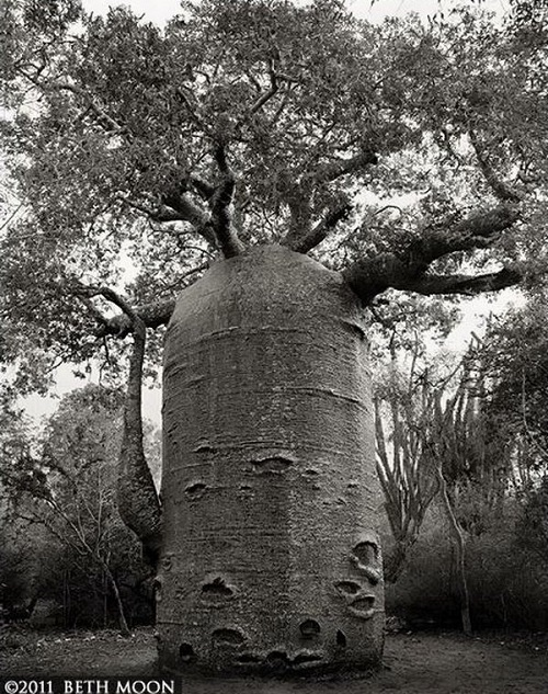 Socotra bottle tree. Portraits of the time. Photography by Beth Moon