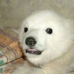 Meanwhile in Russia... polar bear cub