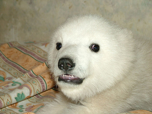 Meanwhile in Russia polar bear cub
