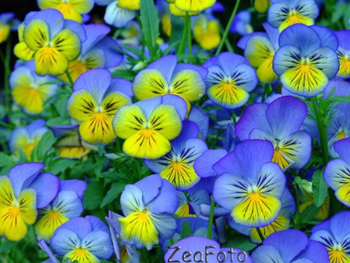 ZeaFoto Viola origin