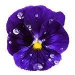 Viola origin