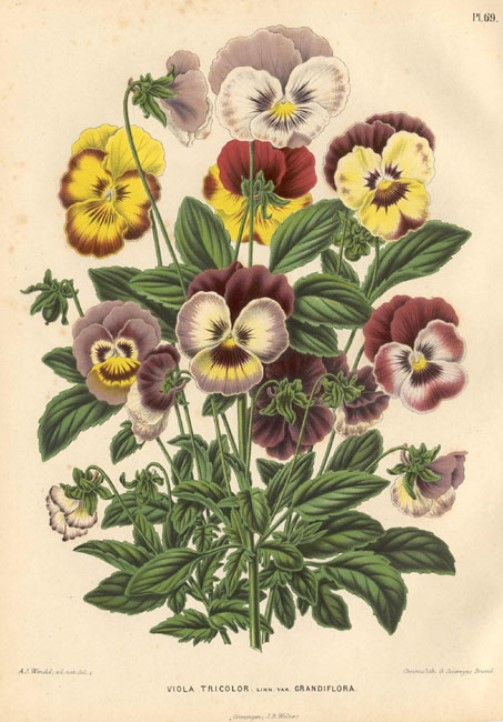 Beautiful and delicate flower Viola origin