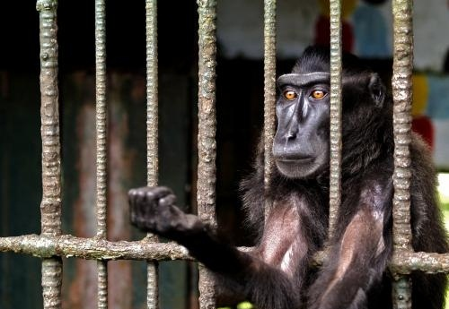 A monkey kept in cage