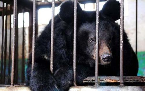 Small cage for big bear - cruelty toward animals